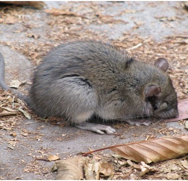 Effective Rat Removal Services and Prevention