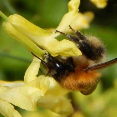 8 Australian Plants for a Bee Friendly Garden